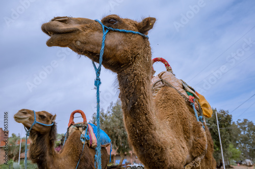 Fotobehang Kameel camels in they natural environment during day time, Morocco