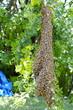 Honey Bee Swarm 4