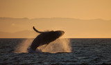 Humpback Whale Breaching in Golden Hour Sunset - 206548639