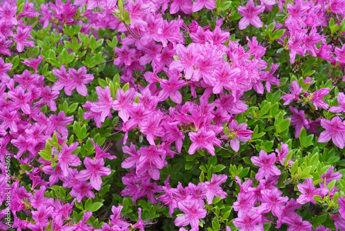 close up on blooming purple rhododendron in spring - 206548651