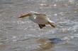 American Pelican Skimming Red River