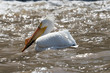 American Pelican on Red River