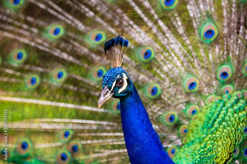Aluminium Pauw Peacock Doing its Thing