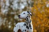 Dalmatian dog outdoor portrait in nature trees