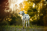 Dalmatian dog outdoor portrait in trees with afternoon light