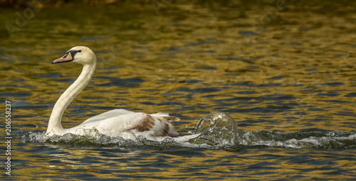 Aluminium Zwaan Swan settling on the River Ouse, St Ives, Cambridgeshire after a swift landing.