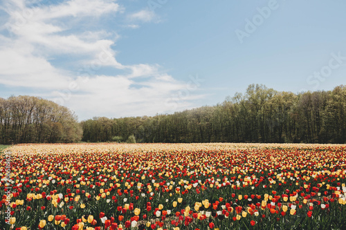 Fotobehang Tulpen Tulips in spring