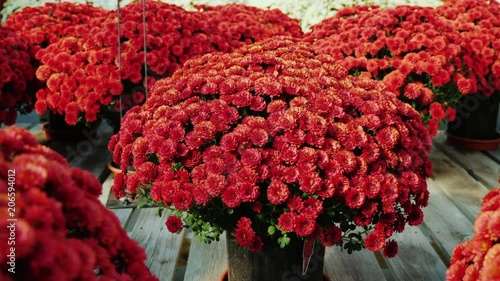 A number of flower pots with beautiful chrysanthemums. Stand on a wooden shelf in a flower shop