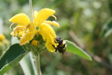 Bumblebee on  yellow Jerusalem sage flower. Phlomis fruticosa wild plant  - 206595455