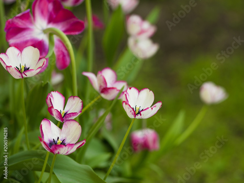 Fotobehang Tulpen Tulips. Flower bed or garden with different varieties of tulips.