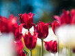 Bright red Tulips. Flower bed or garden with different varieties of tulips.