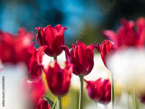 Fotobehang Tulpen Bright red Tulips. Flower bed or garden with different varieties of tulips.