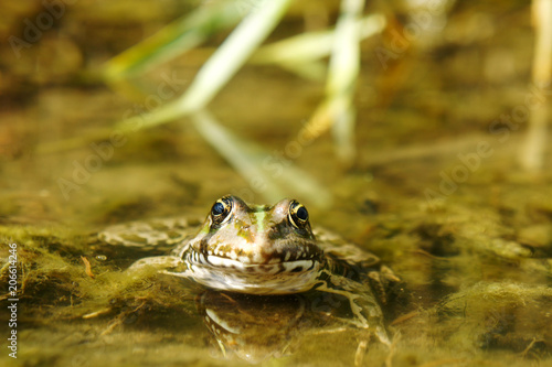 Aluminium Kikker striped toad frog in the swamp
