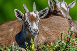goats graze on the grass - 206617249