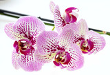 Orchid flowers and green stem on white background