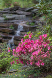 Pink azalea bush with waterfall in background