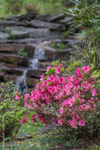 Aluminium Azalea Pink azalea bush with waterfall in background