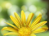 A Beautiful Yellow Daisy on Nature Background