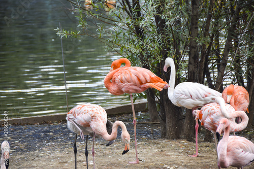 Fotobehang Moskou A flock of flamingos in the pond of the Moscow Zoo
