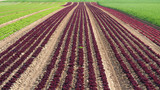 Rows of colorful rainbow of agricultural fields of crops (lettuce plants), including green, red, purple varieties - 206648417