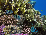 Coral reef with soft and hard corals with exotic fishes anthias on the bottom of tropical sea - 206650281