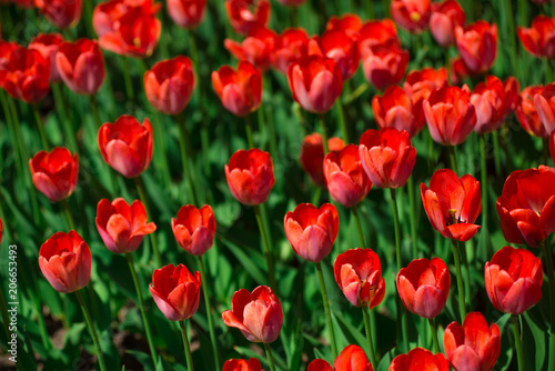 Fotobehang Rood traf. Red tulips on a Sunny summer day. The texture of the flowers.