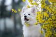 beautiful white swiss shepherd puppy portrait outdoors