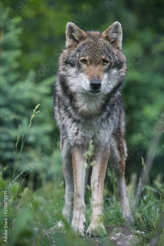 Fotobehang Wolf wolf in a forest - close up