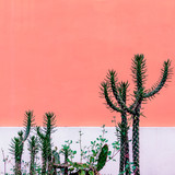 Plant on pink concept. Cactus in urban locations - 206680037
