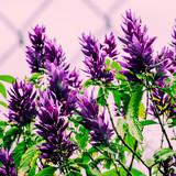 Canary Island. Canary flowers. Purple mood - 206680085