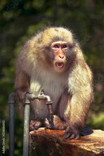 Fotobehang Aap screaming monkey, macaque defends a precious water source in summer