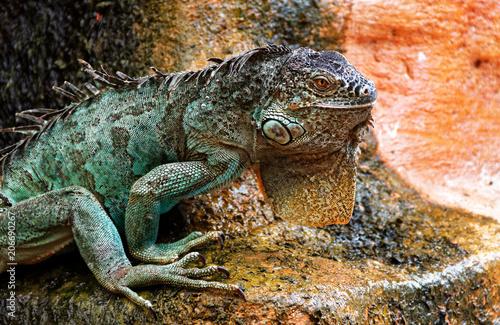 Plexiglas Kameleon Iguane
