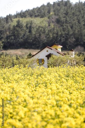 Fotobehang Zwavel geel Rapeseed flowers on the field