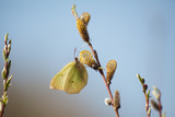 Butterfly on a blossoming willow