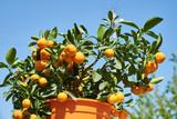 Mandarin mini tree against the blue sky