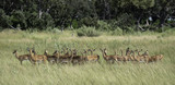Herd of impala standing in the tall grasses on the savanna in Botswana - 206701231