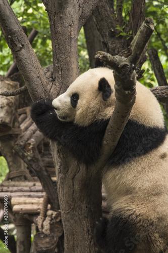 Fotobehang Panda pandas live in a reserve in Chengdu.
