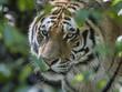 Tiger im Laub