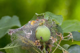 Apple Moon The larvae plaize the leafy leaves and apple fruits with a dense web and destroy them - 206715007