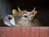 close up cute courious ginger calf cow head looking out of stall box, selective focus, copy space - 206725212