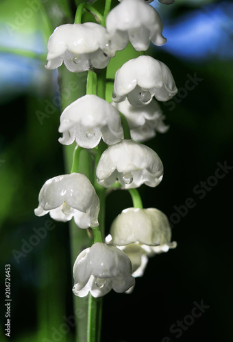 Fotobehang Lelietjes van dalen green juicy foliage and white Lily of the valley on a spring Sunny day in a forest glade