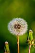 White dandelion flowers in spring sunny day.