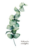 Watercolor baby blue eucalyptus branch. Hand painted floral illustration isolated on white background. Botanical print for design, background or card. - 206735827