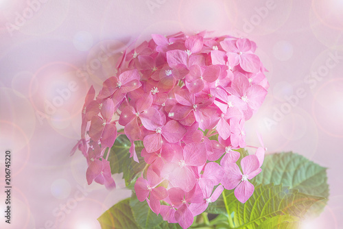 Fotobehang Hydrangea Blooming purple hydrangea on pink background close up