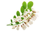 Blossoming acacia with leafs isolated on white background, Acacia flowers, Robinia pseudoacacia . White acacia - 206745440