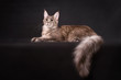 Grey Maine coon cat lying on black background
