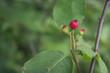 Juneberry in Summer