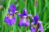 purple Iris flower blooming with green leaves