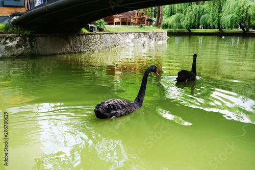 Aluminium Zwaan Pair of black swans (Cygnus atratus) swim on the lake