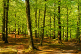 Lovely green beech forest on a sunny morning. Soderasen national park in Sweden. - 206795248